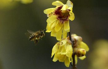 Dance of honeybees
