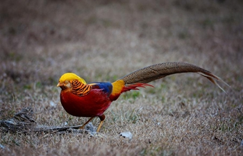 Golden pheasant spotted in forest in NW China's Shaanxi