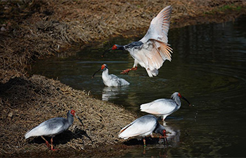 Number of crested ibis in China grows rapidly in past three decades