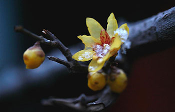 300-year-old wintersweet flowers bloom in China's Hebei