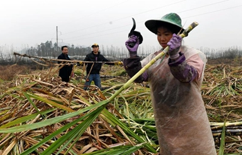 Farmers busy harvesting sugarcane for sugar mills to make sugar in S China