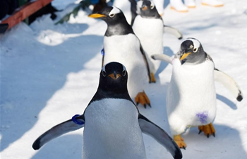 Penguins enjoy cold weather at Harbin Polarland in NE China