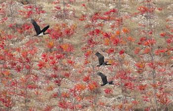 Endangered black storks spotted at Miyun Reservoir in Beijing