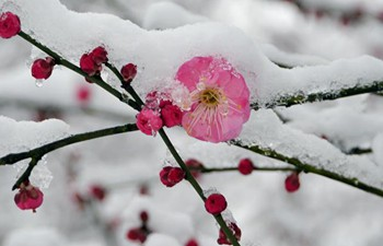 Red plum blossoms in snow