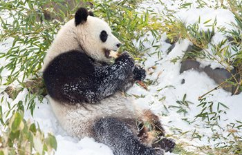 Giant pandas enjoy snow in China's Jiangsu