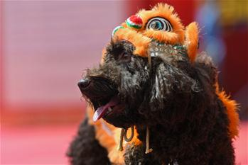 Singapore's Chinatown holds dog costume competition to greet Chinese New Year