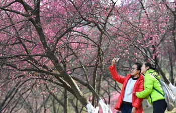 In pics: cherry flowers in Nanning, S China's Guangxi