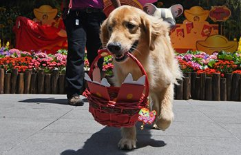 Golden retriever dog delivers red packets in Singapore Zoo