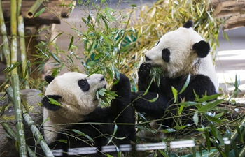 Take closer look at giant pandas eating bamboos at Toronto Zoo