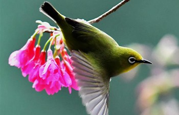 Bird dancing amid cherry blossoms
