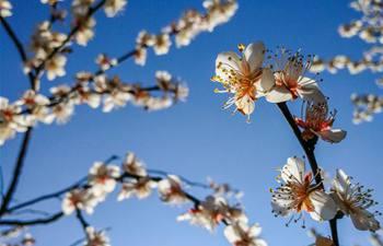 Hangzhou: Over 50,000 plum trees enter blossom season