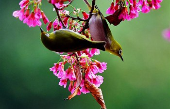 In pics: White-eyes gather honey on cherry trees