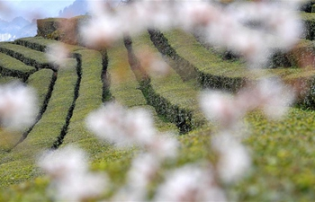 Cherry flowers blossom at tea garden in C China's Hubei