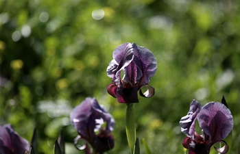 In pics: Faqqua Iris flowers, national flower of Palestine