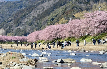 People enjoy cherry blossoms in Japan