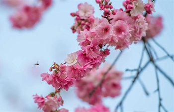 In pics: cherry blossoms at Yuantongshan Park in SW China's Yunnan