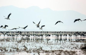 Migratory birds fly northbound after wintering in SW China