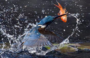 Kingfisher catches fish at Plum Garden in Wuxi City, China's Jiangsu