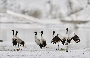 Black-necked cranes seen in snow in China's Tibet