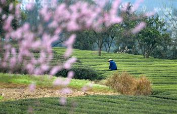Farmers pick tea leaves in Enshi, central China's Hubei
