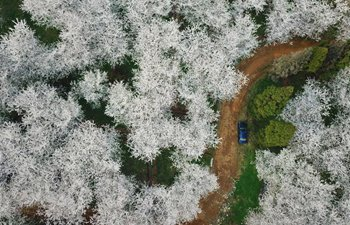 Aerial view of cherry blossoms in SW China's Guizhou