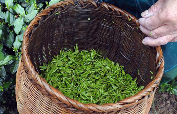 Farmers harvest Longjing tea in Hangzhou, east China