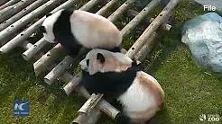 Toronto Zoo bids farewell to its beloved pandas