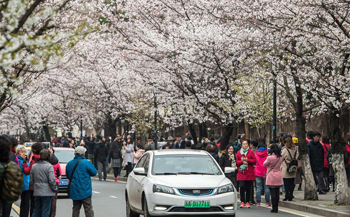 People enjoy view of cherry blossoms in E China's Nanjing