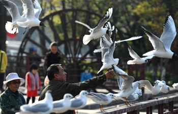 40,000 black-headed gulls spend last winter in Kunming