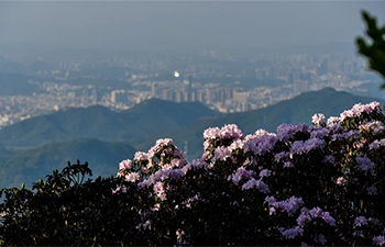 Azaleas enter blossom season in south China's Guangdong