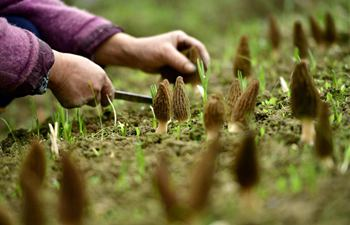 Hubei: Farmers harvest morel mushrooms at greenhouse