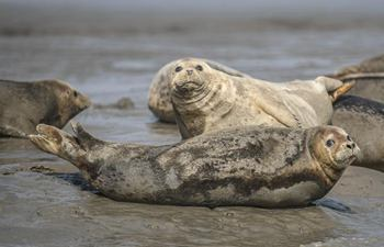 Spotted seals rest on coastal mudflat of Sandaogou, NE China