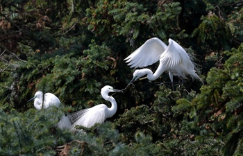Egrets seen in Xiangshan forest park in east China's Jiangxi