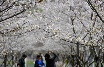 People enjoy cherry blossoms in Taizhou, E China's Zhejiang
