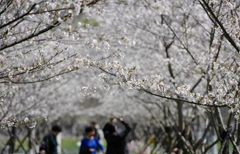 People enjoy cherry blossoms in Taizhou, E China's Zhejiang