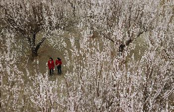 In pics: Apricot flowers in Dunhuang, NW China