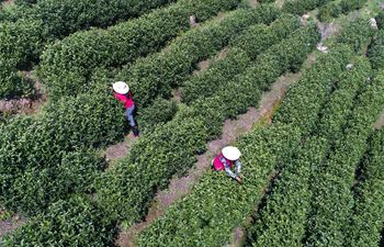 Workers pick tea leaves at tea garden in east China's Jiangxi