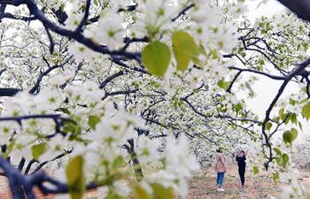 Pear blossoms and peach blossoms bloom in Shandong