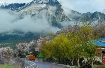Peach blossoms in Bomi County, SW China's Tibet