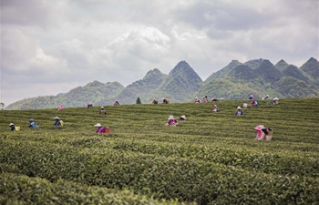 In pics: tea picking across China