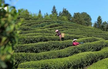 Tea harvest in SW China's Chongqing