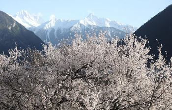 Scenery of peach blossoms in Tibet