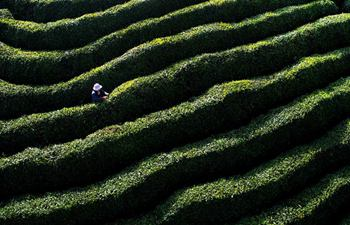 Villagers pick tea leaves in NW China