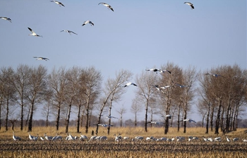 Migrant birds fly back to Momoge National Nature Reserve in China's Jilin