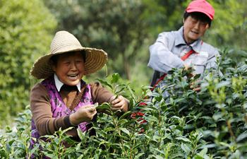 China embraces tea harvest season