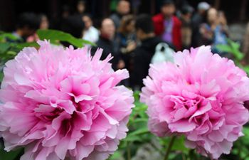 Peony blossoms seen in Suzhou, east China