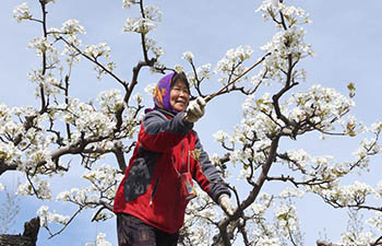Farmers pollinate pear flowers in Xinglongdian Village, China's Hebei