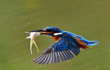 Kingfishers seen at national forest park in SE China's Fujian