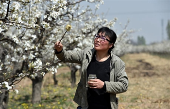 Farmers work at pear orchard in N China's Shanxi