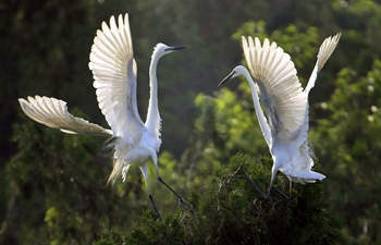 Egrets seen in Qidashan forest park, E China's Jiangsu